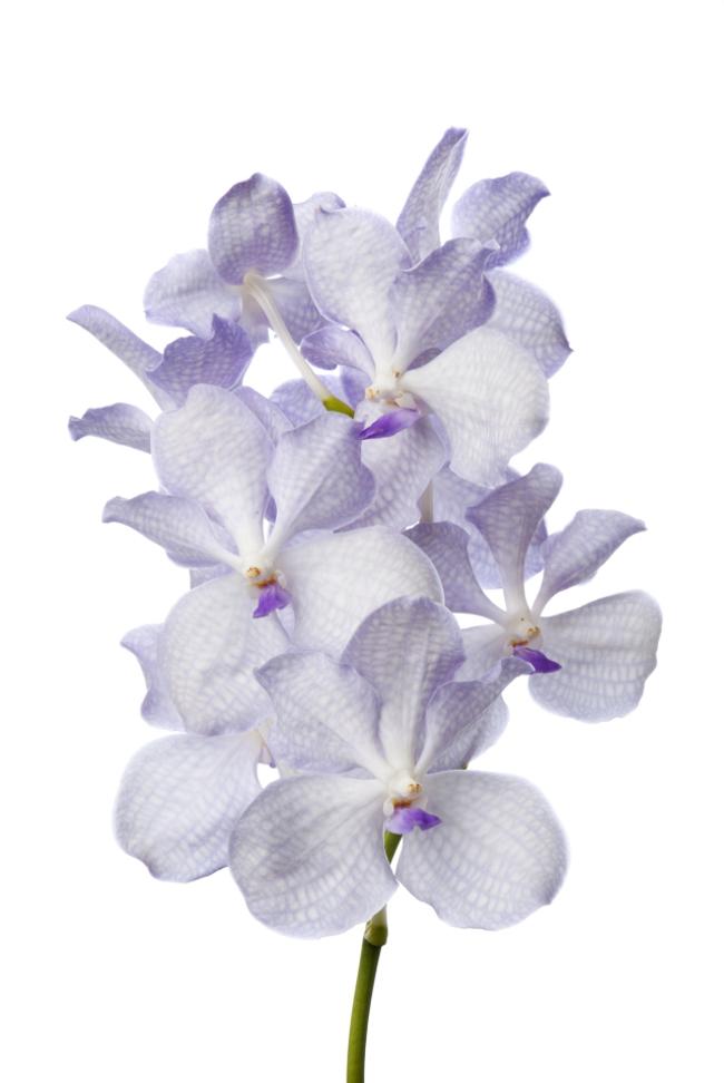 Anco Lavender Mist Orchid